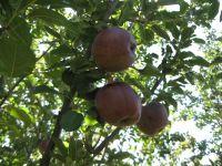 apple_fruit_3.JPG