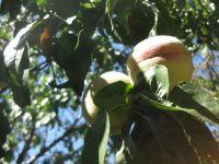 peach_fruit_1.JPG